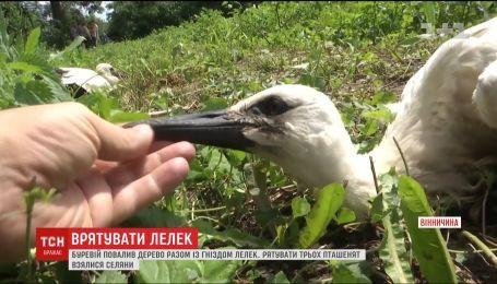 Селяне на Виннитчине спасли маленьких аистов, чье гнездо разрушил ураган