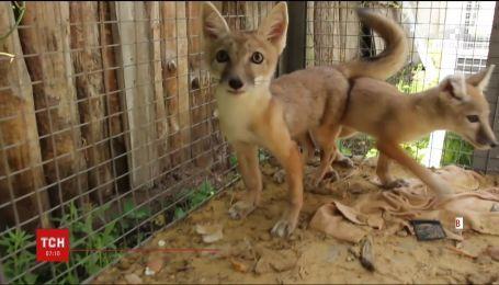 Редкие лисы-корсаки родились в зоопарке Харькова