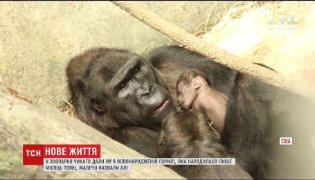 В зоопарке Чикаго дали имя новорожденной горилле редкого вида