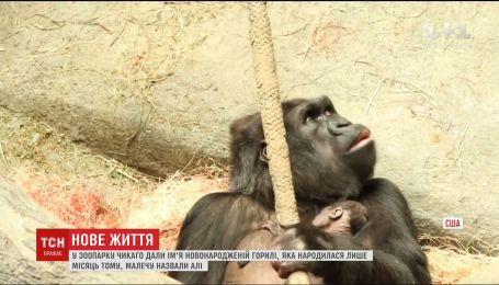 В зверинце Чикаго выбрали имя горилле, которая родилась в прошлом месяце