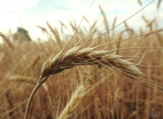 Українське золото. Який Україна зібрала врожай і чи подорожчає хліб через зростання цін на пшеницю