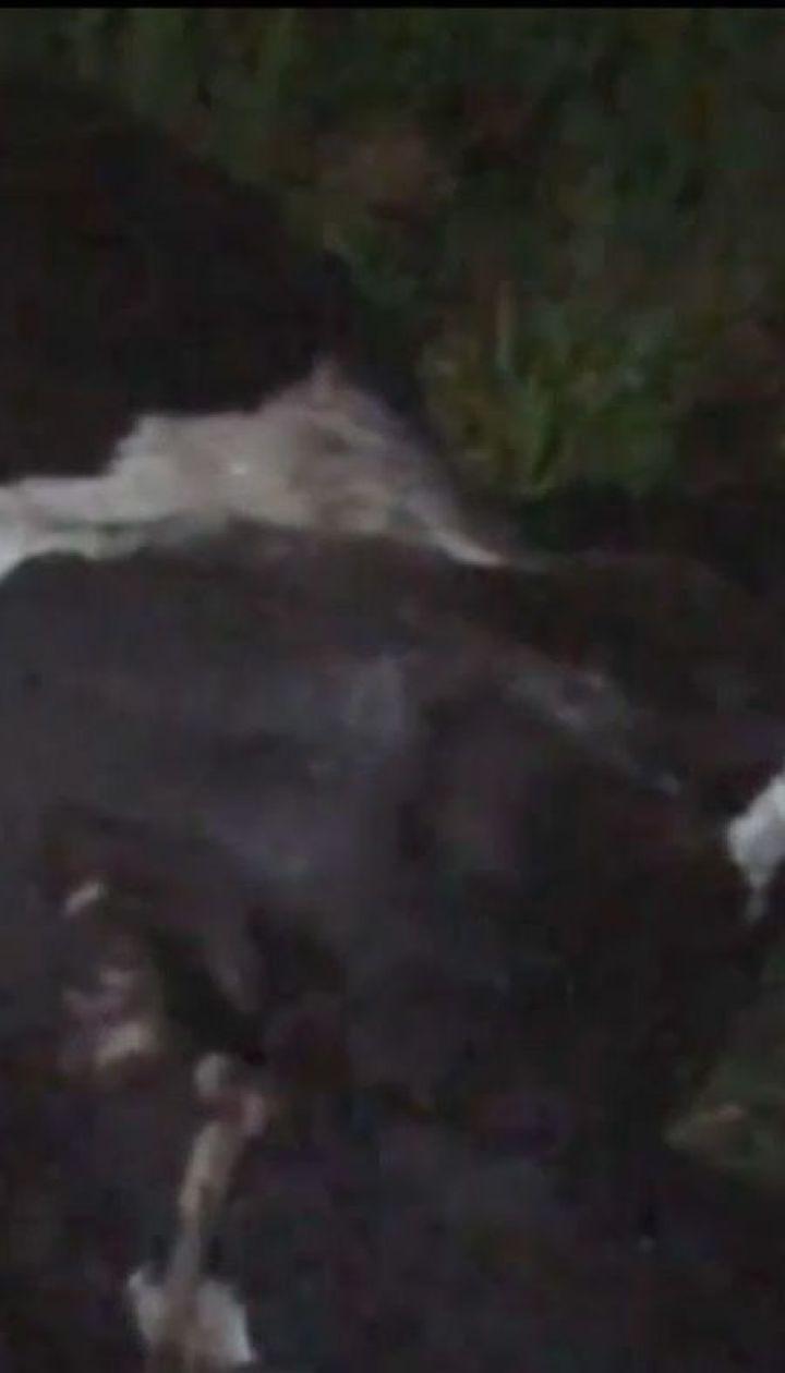 Корову, яка під час випасання впала у глибоку канаву, діставали рятувальники на Львівщині