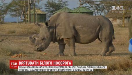 Ученые воссоздали гибридные эмбрионы редкого северного носорога