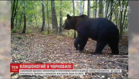 Науковцям вдалося зафільмувати прогулянку бурого ведмедя зоною відчуження