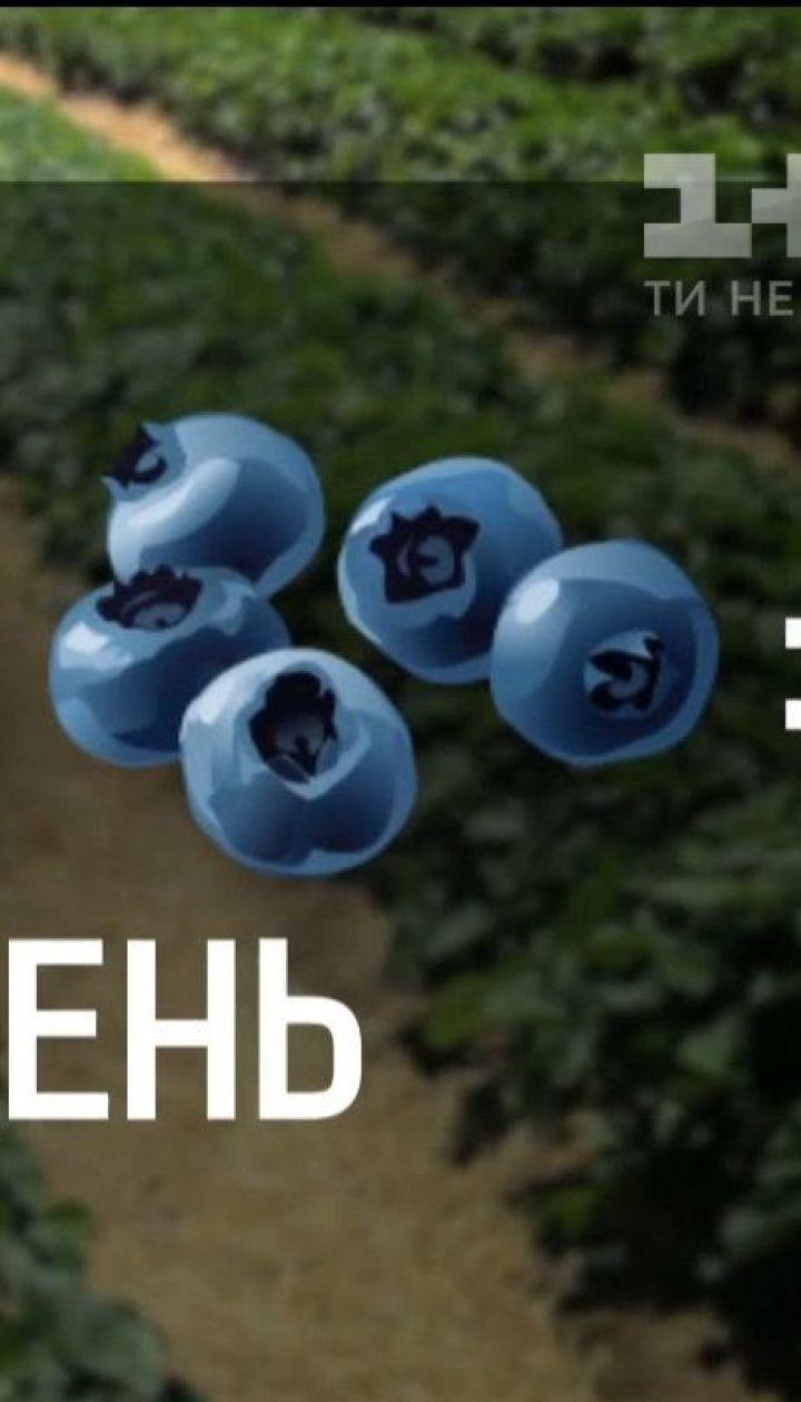 У яких умовах працюють українські збирачі ягід - Наші в Польщі