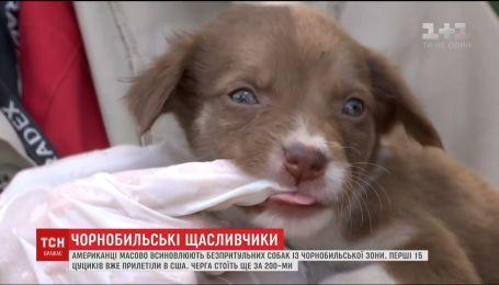 Чернобыльские щенки нашли новые дома в США