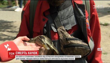 На озере в Киеве отравили диких уток