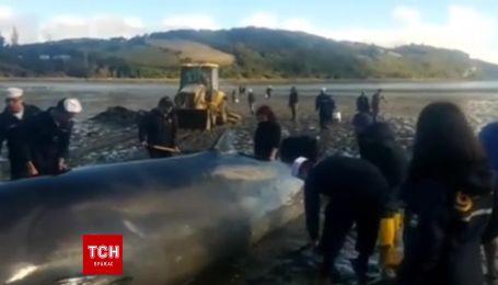 В Чили спасли раненого кита