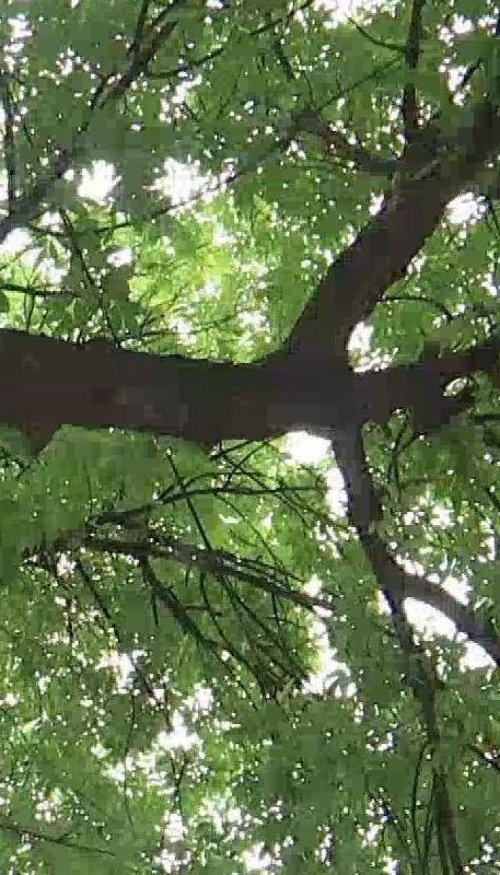 Люди, которые лечат деревья - как работают арбористы