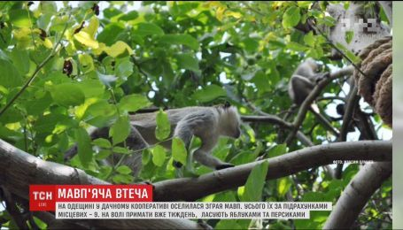 Стая обезьян поселилась в дачном кооперативе на Одещине