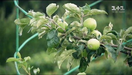 Фермеры прогнозируют большой урожай яблок - экономические новости