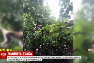 Стая обезьян обносит сады в дачном кооперативе в Одесской области
