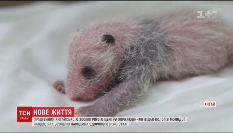 Видео рождения черно-белой панды обнародовали китайские зоологи