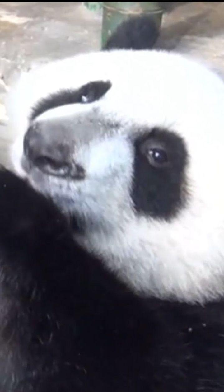 В Китае отметили день рождения единственной в мире тройни панд