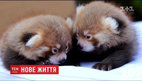 Двое малышей красной панды родились в зоопарке Нью-Йорка