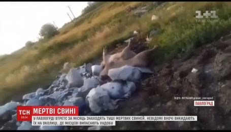 В Павлограде неизвестные выбрасывают туши мертвых свиней недалеко от частных домов