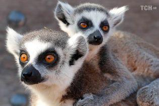 На Мадагаскаре массово гибнут лемуры: какие пушистые приматы сейчас на грани исчезновения. Инфографика
