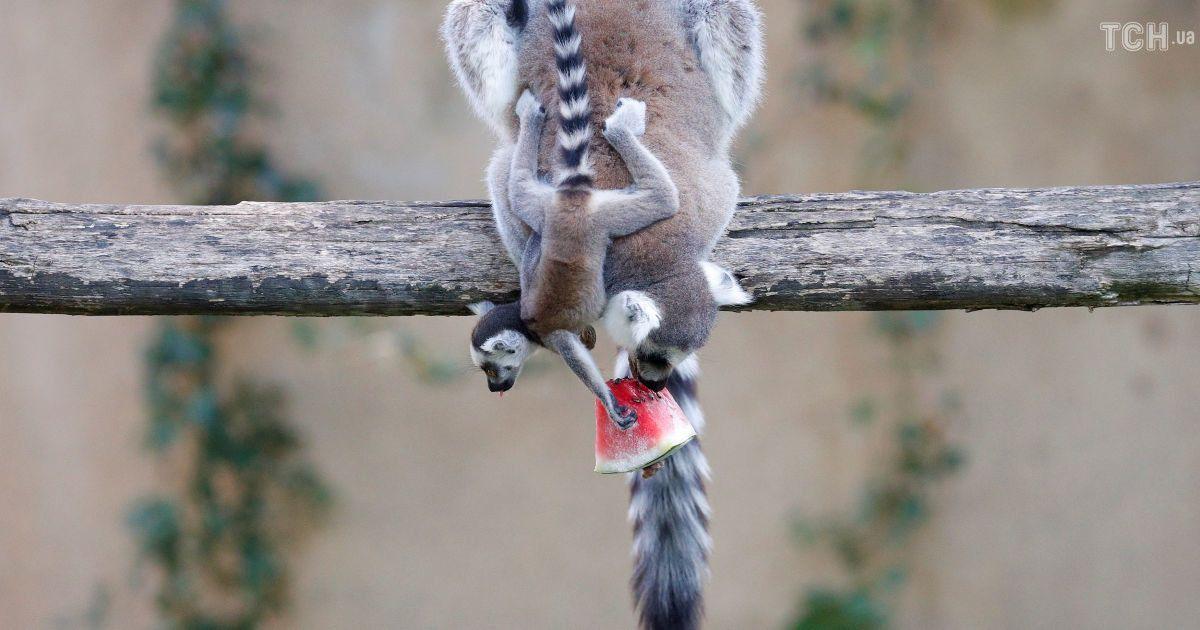 Заморожені фрукти і водні процедури: як тварин рятують від спеки в зоопарку в Італії