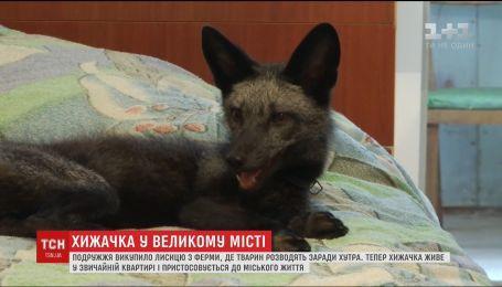 У Вінниці подружжя викупило з ферми та оселило в квартирі лисицю