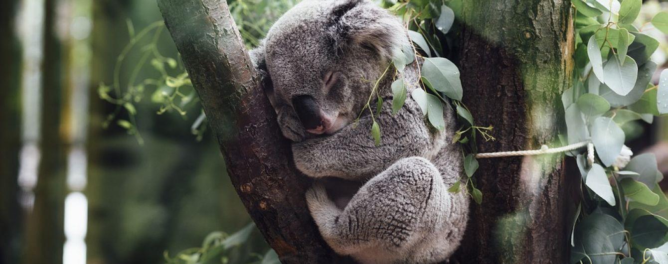 В Австралії поліцейський урятував спантеличену коалу на дорозі