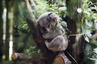 В Австралии полицейский спас озадаченную коалу на дороге
