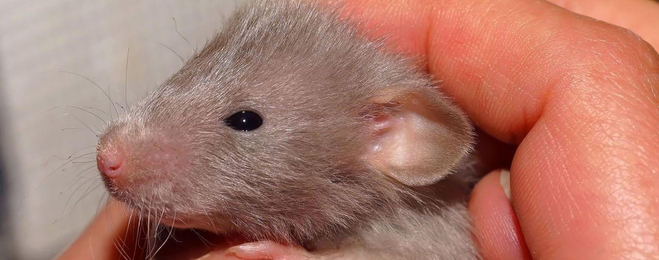 В Одессе женщина попала в больницу после укуса крысы в пиццерии