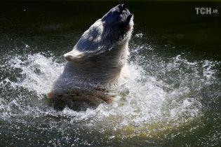Плавання та фрукти із льодом: як тварини у європейських зоопарках переживають шалену спеку