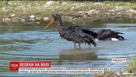 Трьох чорних лелеченят, що народилися у київському зоопарку, випустили в дику природу