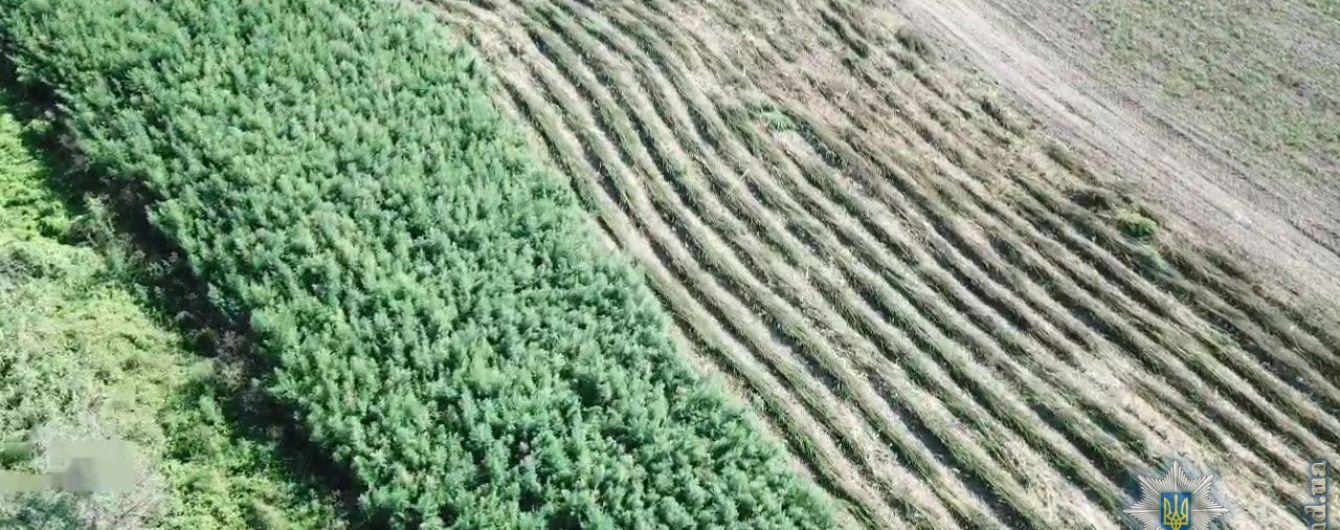 В Одесской области обнаружили крупную плантацию конопли на миллионы гривен