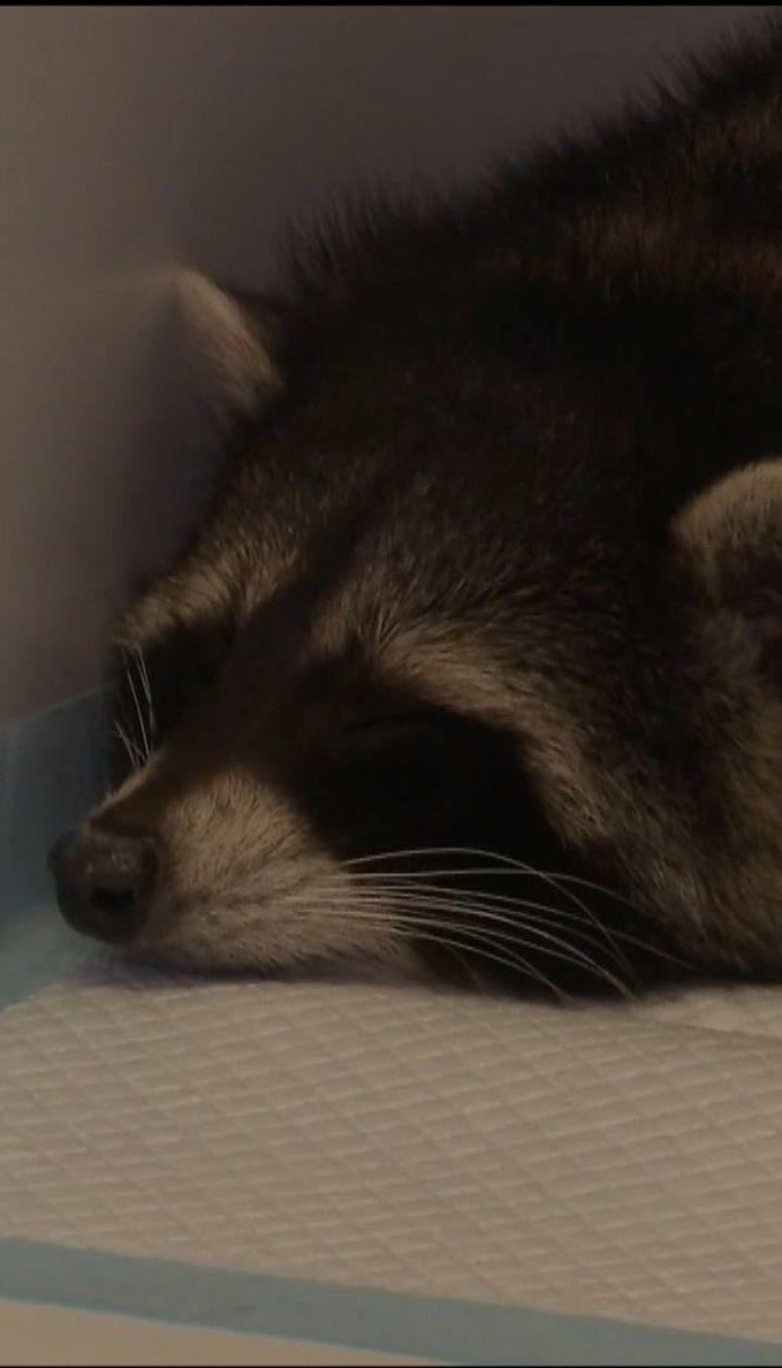 Известный енот Марли потерял зрение и имеет высокую температуру после нападения неизвестных