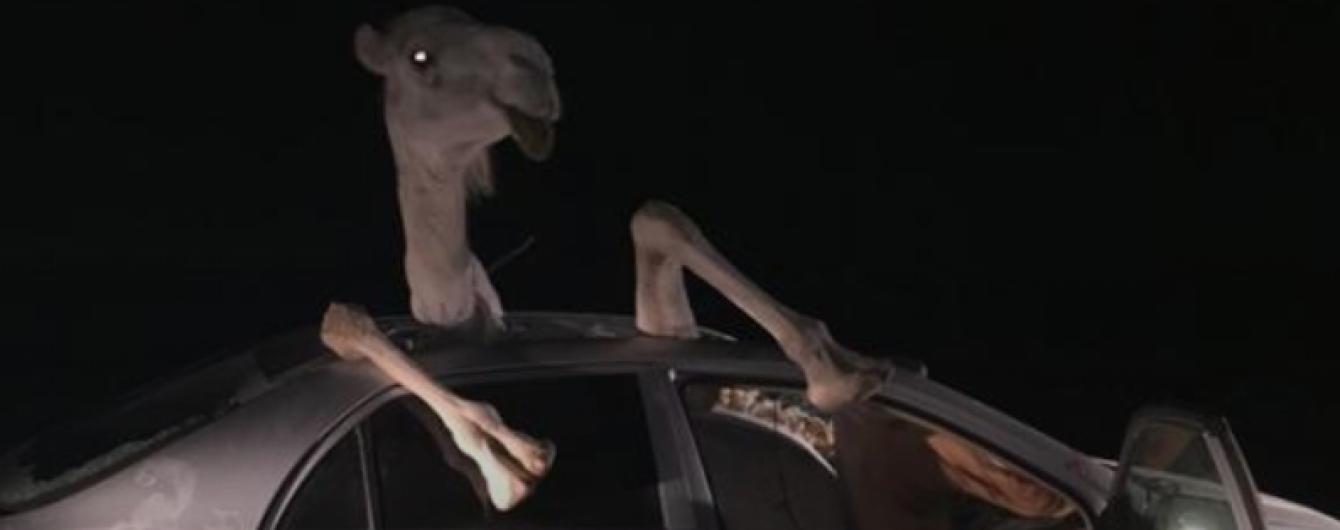 Нажаханий верблюд застряг у салоні Toyota внаслідок аварії
