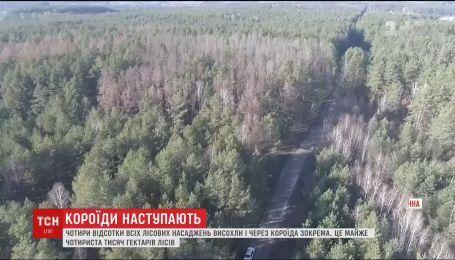 Ліси України потерпають від короїда: висохло понад 400 тисяч гектарів насаджень