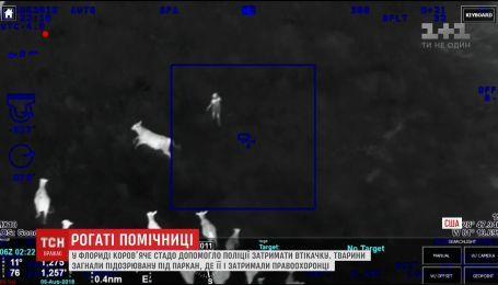 Во Флориде коровье стадо помогло полиции задержать беглянку