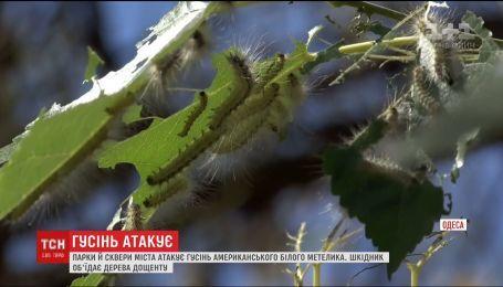 Одеські парки та сквери атакує гусінь американського білого метелика