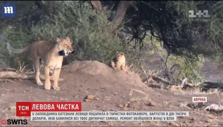 У заповіднику Ботсвани левиця поцупила камеру за 2,5 тисячі доларів