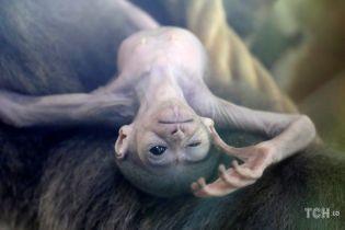 Крихітний інопланетянин. У зоопарку Праги народився кумедний сріблястий гібон
