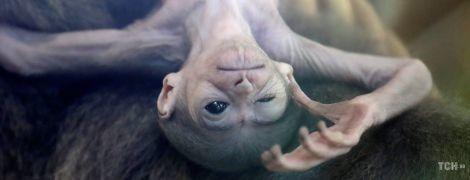 Крошечный инопланетянин. В зоопарке Праги родился забавный серебристый гиббон