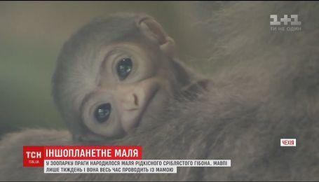 В пражском зоопарке родился редкий малыш серебристого гиббона