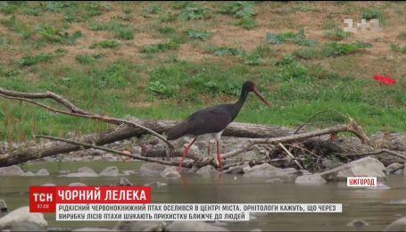 Редкий черный аист появился на реке в центре Ужгорода
