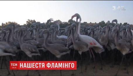 Тысячи фламинго в разгар брачного сезона собрались в испанской провинции Малага