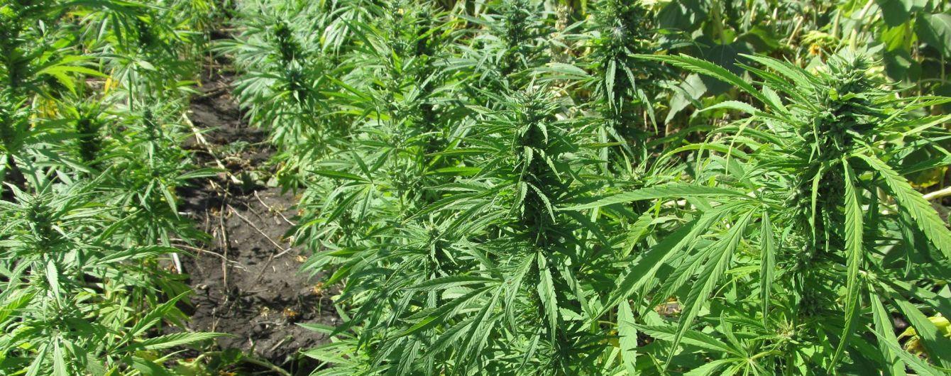 Теплицы на Прикарпатье, в которых выращивали почти 100 кустов конопли, принадлежат местному бизнесмену