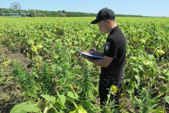 На Луганщині тисячі кущів конопель маскували під соняшник