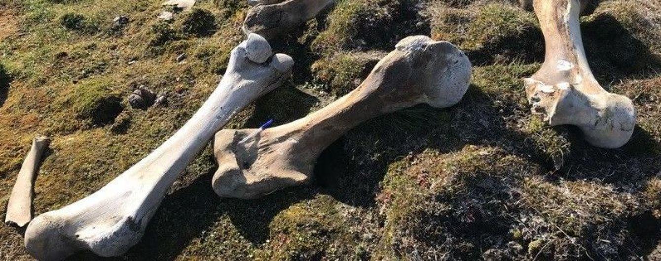 """Хотел похитить """"находку года"""": белый медведь напал на лагерь исследователей ради ноги мамонта"""