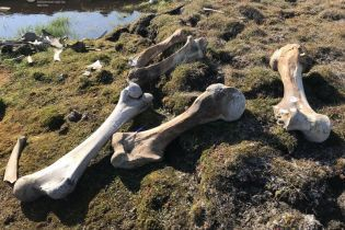 """Хотів викрасти """"знахідку року"""": білий ведмідь напав на табір дослідників заради ноги мамонта"""