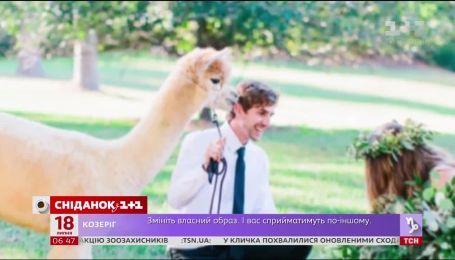 Почему альпак все чаще берут на свадебные церемонии