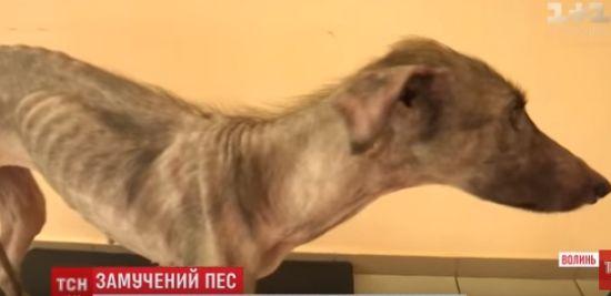 У Луцьку господарі ледь не заморили голодом собаку: своєю худорбою він вжахнув перехожих