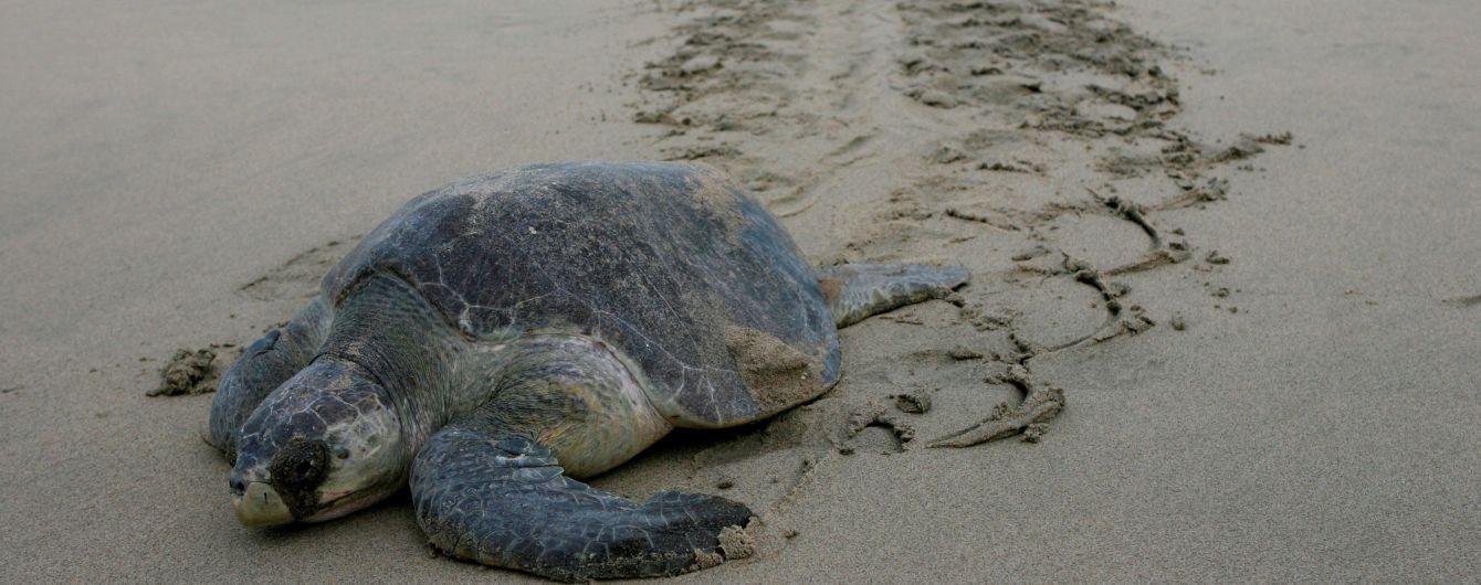 На тихоокеанському узбережжі Мексики знайшли понад сотню трупів рідкісних черепах