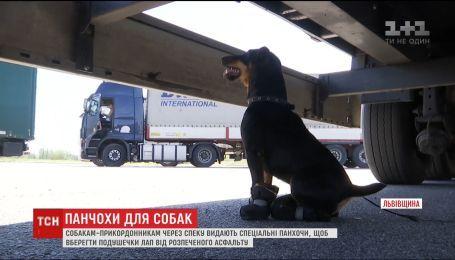 Панчохи для собак. На Львівщині псам-прикордонникам через спеку одягають на лапи спеціальні шкарпетки