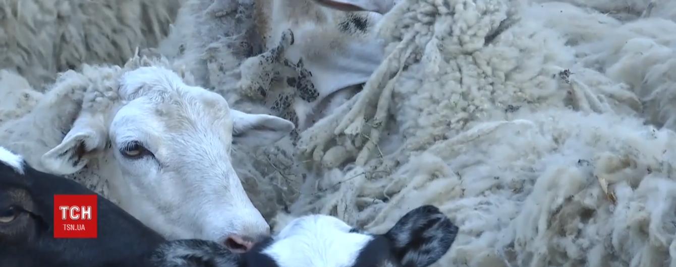 Зоозахисники пікетуватимуть Держспоживслужбу через скандал із зачиненою у фурі отарою овець