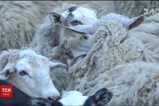 На Виннитчине обследуют живых овец, которые две недели сидели в фуре. Тела погибших утилизируют